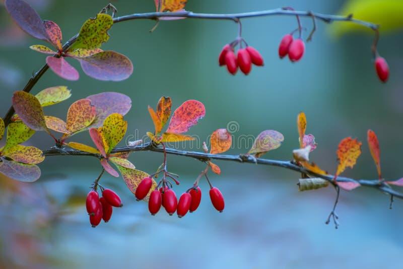 Κλάδος με κόκκινο barberry θάμνων μούρων και τα ζωηρόχρωμα φύλλα φθινοπώρου στοκ φωτογραφία με δικαίωμα ελεύθερης χρήσης