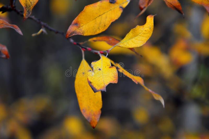 Κλάδος με τα κίτρινα φύλλα των ιτιών ζωηρόχρωμος πίνακας κολοκύνθης συλλογής φθινοπώρου Δύο φύλλα που τρώονται από τα πουλιά ή τα στοκ εικόνα με δικαίωμα ελεύθερης χρήσης