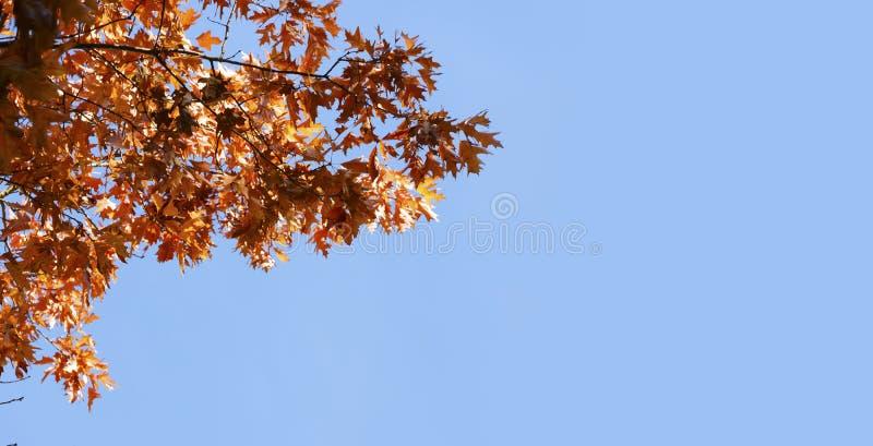 Κλάδος με τα κόκκινα φύλλα φθινοπώρου ενάντια σε έναν σαφή μπλε ουρανό, backgrou στοκ εικόνες