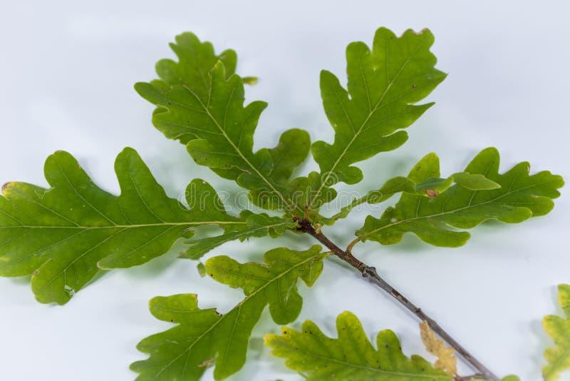 Κλάδος με τα πράσινα φύλλα της βαλανιδιάς στοκ φωτογραφία με δικαίωμα ελεύθερης χρήσης