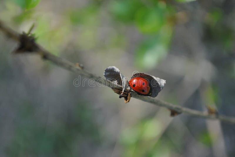 Κλάδος με το ladybug κάτω από την ξηρά στενή επάνω λεπτομέρεια φύλλων, μαλακό μουτζουρωμένο bokeh στοκ εικόνα