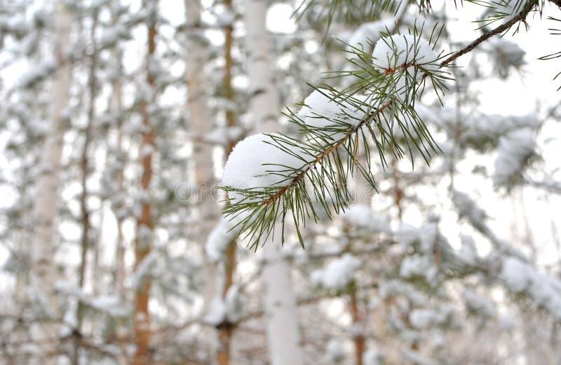 Κλάδος πεύκων με το χιόνι μπλε snowflakes ανασκόπησης άσπρος χειμώνας στοκ εικόνα με δικαίωμα ελεύθερης χρήσης