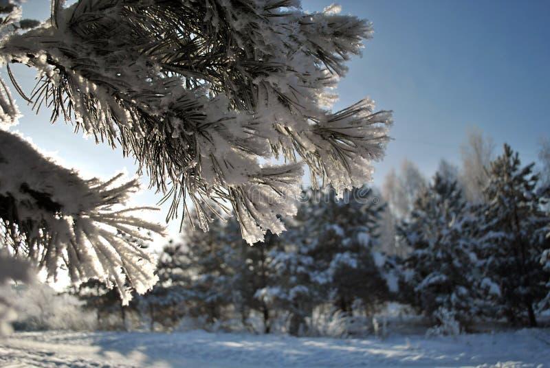 Κλάδος πεύκων στο χιονώδη παγετό στο χιονώδες δασικό υπόβαθρο Κινηματογράφηση σε πρώτο πλάνο στοκ εικόνες