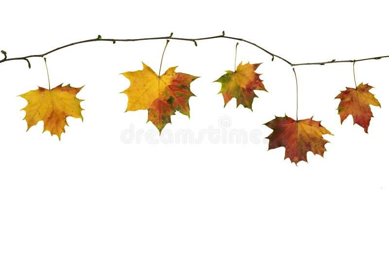 Κλάδος πτώσης φθινοπώρου με τα φύλλα σφενδάμου στο λευκό στοκ φωτογραφίες