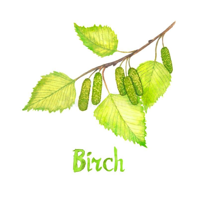 Κλάδος σημύδων με τα πράσινα φύλλα και τα λουλούδια, χρωματισμένη χέρι απεικόνιση watercolor με την επιγραφή που απομονώνεται απεικόνιση αποθεμάτων