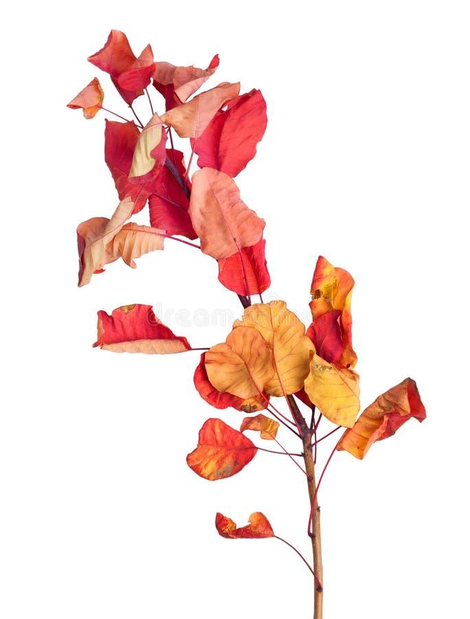 Κλάδος σφενδάμνου φθινοπώρου με τα φύλλα που απομονώνονται στο υπόβαθρο στοκ φωτογραφία με δικαίωμα ελεύθερης χρήσης