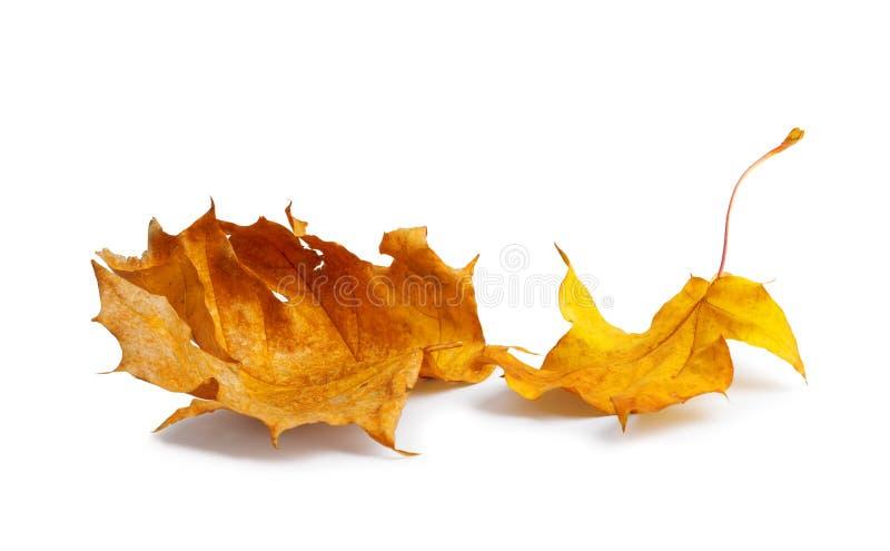 Κλάδος σφενδάμνου φθινοπώρου με τα φύλλα με τη σκιά που απομονώνεται στο υπόβαθρο στοκ φωτογραφία με δικαίωμα ελεύθερης χρήσης