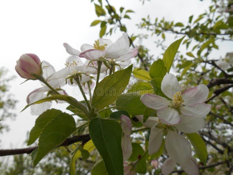Κλάδος του δέντρου μηλιάς με τα τρυφερά ρόδινα λουλούδια οφθαλμών στοκ φωτογραφίες με δικαίωμα ελεύθερης χρήσης