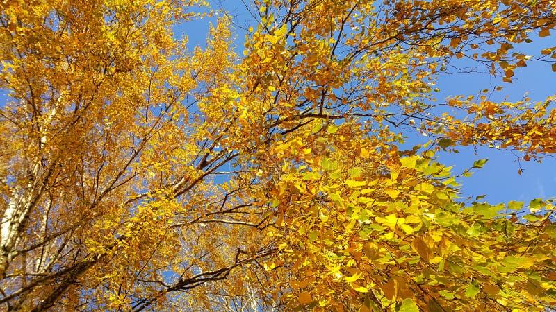 Κλάδος του δέντρου σημύδων φθινοπώρου με τα φωτεινά κίτρινα φύλλα στοκ εικόνα με δικαίωμα ελεύθερης χρήσης