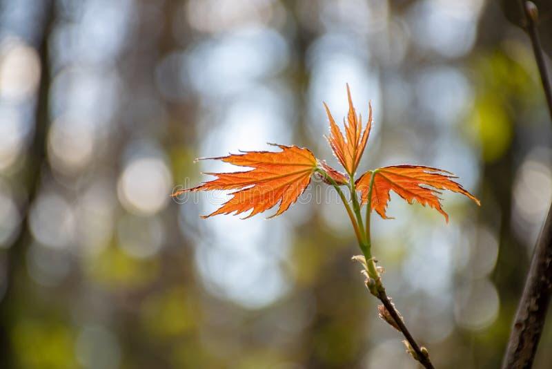 Κλάδος του σφενδάμνου την άνοιξη Τα νέα πορτοκαλιά φύλλα αυξάνονται στοκ εικόνες