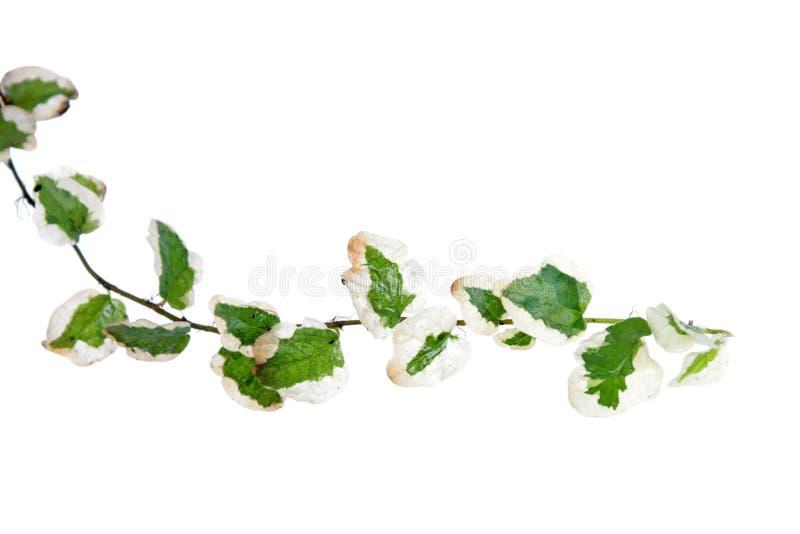Κλάδος του pumila Variegata Ficus ή του σερνμένος σύκου με τα διαφοροποιημένα φύ στοκ φωτογραφίες