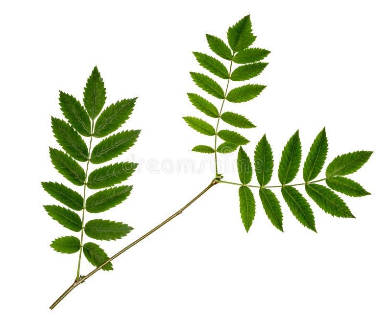 Κλάδος του Rowan στο άσπρο υπόβαθρο Τρία πράσινα φύλλα της τέφρας βουνών στοκ φωτογραφίες με δικαίωμα ελεύθερης χρήσης