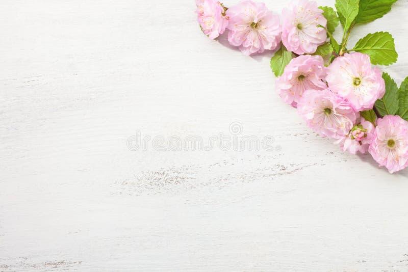 Κλάδος του triloba Prunus αμυγδάλων ανθών στον άσπρο ξύλινο πίνακα στοκ εικόνες