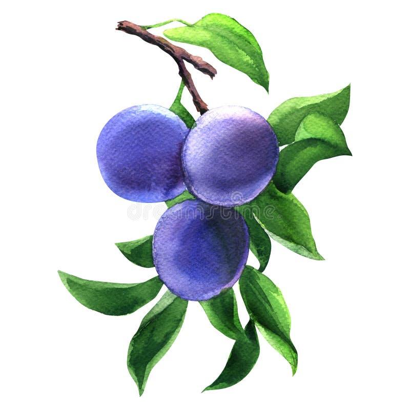 Κλάδος τρία ώριμα δαμάσκηνα και φύλλα που απομονώνονται με, μπλε νόστιμα φρούτα, συρμένη χέρι απεικόνιση watercolor στο λευκό ελεύθερη απεικόνιση δικαιώματος
