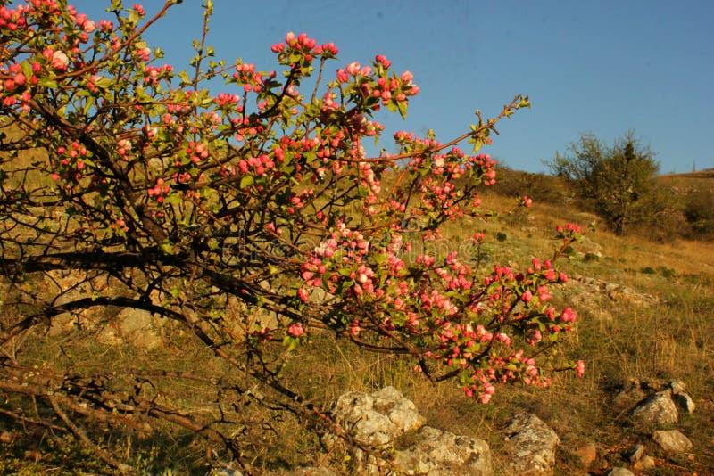 Κλάδος των ανθίζοντας δέντρων μηλιάς, στοκ φωτογραφίες