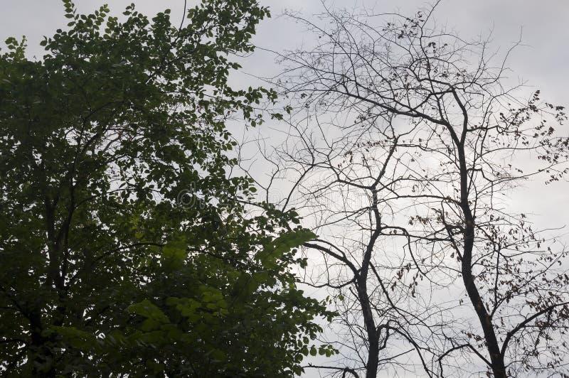 Κλάδος των δέντρων με τα φύλλα και χωρίς στο υπόβαθρο με τον γκρίζος-μπλε ουρανό Αντίθετα θερινής αντίθεσης στοκ φωτογραφία