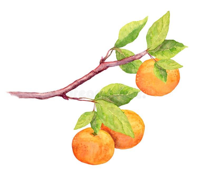 Κλάδος των πορτοκαλιών φρούτων κλημεντινών watercolor διανυσματική απεικόνιση