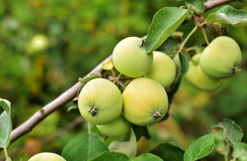 Κλάδος των πράσινων μήλων στοκ εικόνες