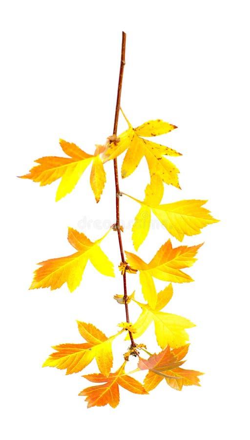 κλάδος φθινοπώρου στοκ φωτογραφία