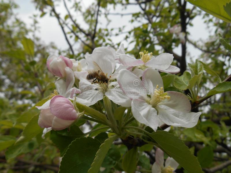 Κλάδος Bloming του δέντρου μηλιάς στοκ εικόνα