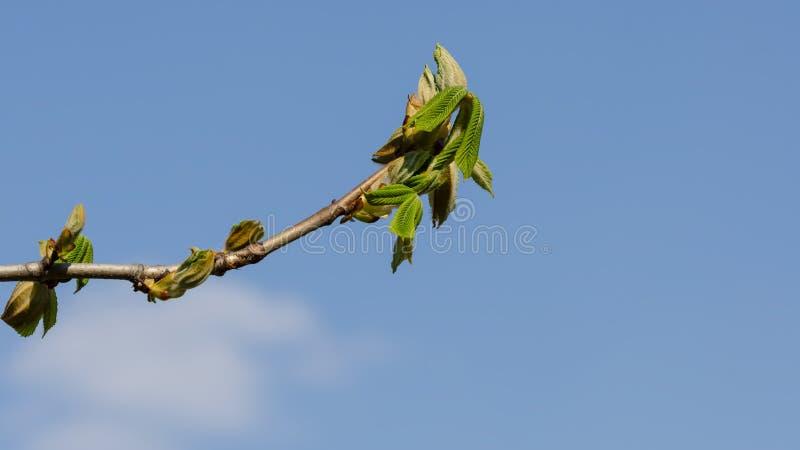 Κλάδος Horse-chestnut με το μπλε ουρανό στο υπόβαθρο στοκ εικόνα με δικαίωμα ελεύθερης χρήσης