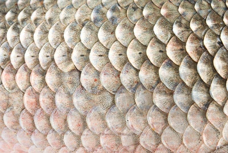 κλίμακες ψαριών στοκ εικόνα