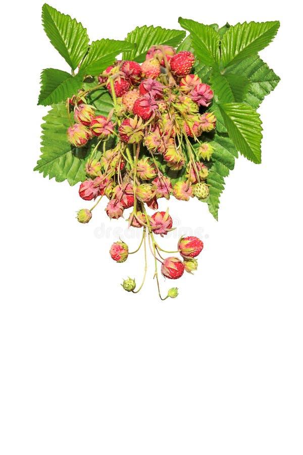 Κλαδάκια της ώριμης άγριας φράουλας με τα φύλλα που απομονώνονται στη λευκιά ΤΣΕ στοκ φωτογραφία με δικαίωμα ελεύθερης χρήσης