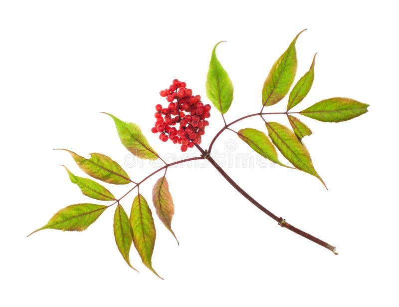 Κλαδάκι κόκκινο elderberry στο άσπρο υπόβαθρο στοκ εικόνες