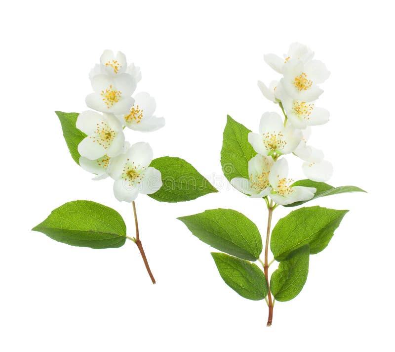 Κλαδάκι της Jasmine στο άσπρο υπόβαθρο στοκ εικόνες