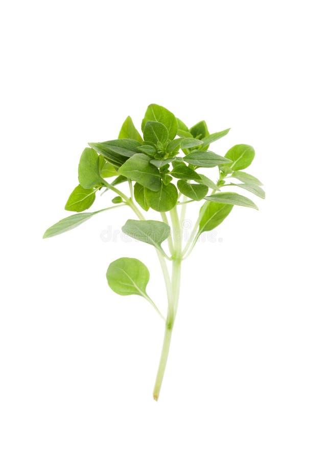 Κλαδάκι του πράσινου βασιλικού που απομονώνεται στο λευκό Διαστημικό κείμενο αντιγράφων στοκ εικόνες με δικαίωμα ελεύθερης χρήσης