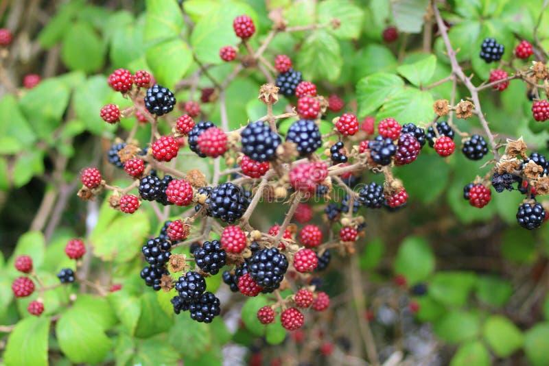 Κλαδάκι των φρούτων στο θάμνο βατόμουρων στοκ φωτογραφία με δικαίωμα ελεύθερης χρήσης