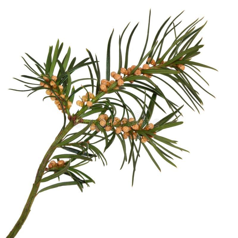 κλαδάκι φύλλων yew στοκ εικόνα με δικαίωμα ελεύθερης χρήσης