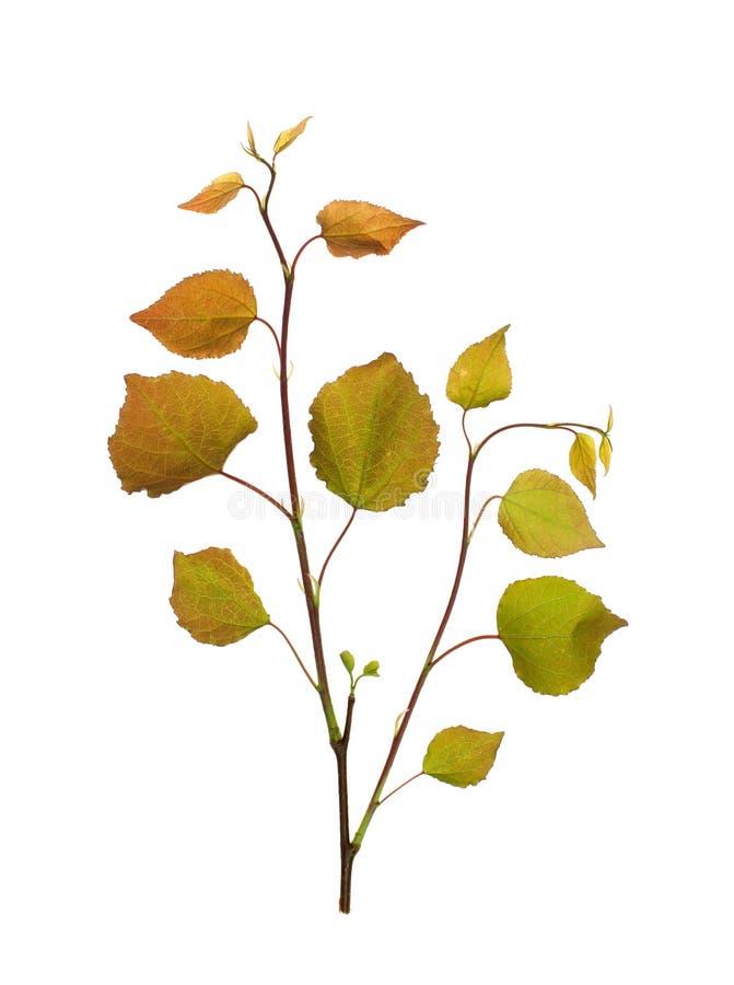 Κλαδάκι Linden με τα νέα κόκκινα φύλλα σε ένα άσπρο υπόβαθρο στοκ φωτογραφία
