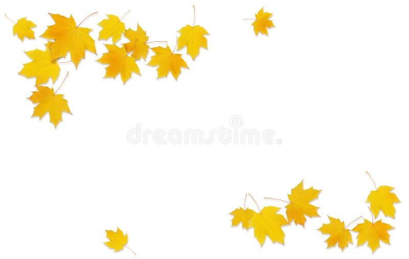 Κλαδίσκος σφενδάμνου φθινοπώρου με τα κίτρινα φύλλα ελεύθερη απεικόνιση δικαιώματος