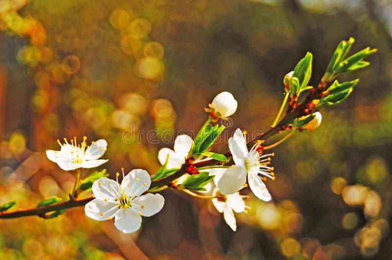 Κλαδιά κερασιάς με λευκά ευαίσθητα λουλούδια και ένα κίτρινο κέντρο με πράσινα φύλλα στοκ φωτογραφία με δικαίωμα ελεύθερης χρήσης