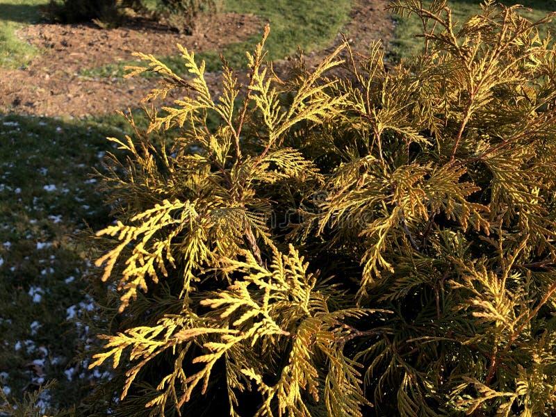 Κλαδιά κωνοφόρων φόντο φύσης Τούτζα οκκιντεντάλης, αειθαλές κωνοφόρο δέντρο, τούγια с στοκ εικόνες