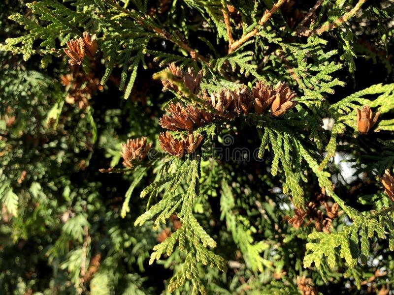 Κλαδιά κωνοφόρων φόντο φύσης Τούτζα οκκιντεντάλης, αειθαλές κωνοφόρο δέντρο, τούγια с στοκ φωτογραφίες με δικαίωμα ελεύθερης χρήσης