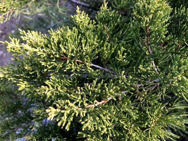 Κλαδιά κωνοφόρων φόντο φύσης Τούτζα οκκιντεντάλης, αειθαλές κωνοφόρο δέντρο, τούγια с στοκ φωτογραφία με δικαίωμα ελεύθερης χρήσης