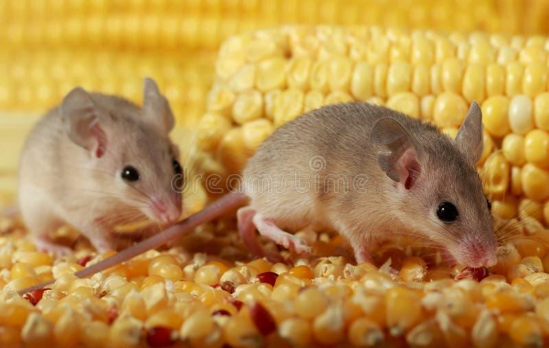 Κλείνει δύο περίεργα νεαρά γκρίζα ποντίκια κρυφά στον αχυρώνα του καλαμποκιού στοκ φωτογραφίες