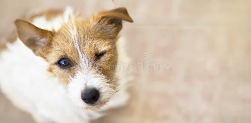 Κλείνοντας το μάτι σκυλί με τα αστεία αυτιά όπως ακούοντας, έμβλημα Ιστού στοκ εικόνα