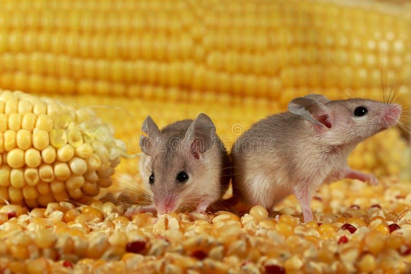 Κλείνουν δύο περίεργα νεαρά γκρίζα ποντίκια κοντά στο καλαμπόκι στην αποθήκη στοκ εικόνα