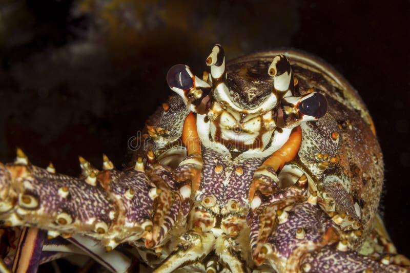 Κλείσιμο ενός αστακού της Καραϊβικής - Κοζουμέλ στοκ φωτογραφία με δικαίωμα ελεύθερης χρήσης