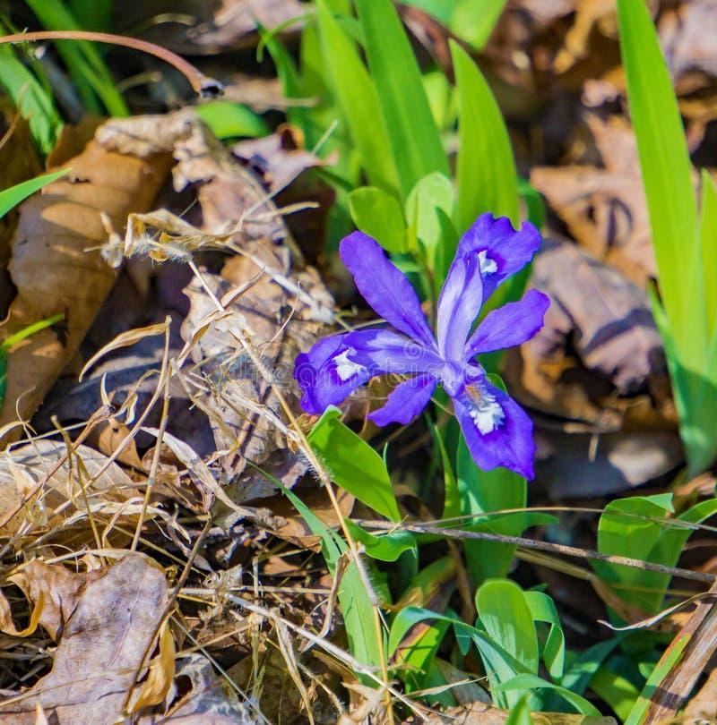 Κλείσιμο ενός Dwarf Crested Iris, Iris cristata στοκ εικόνα με δικαίωμα ελεύθερης χρήσης