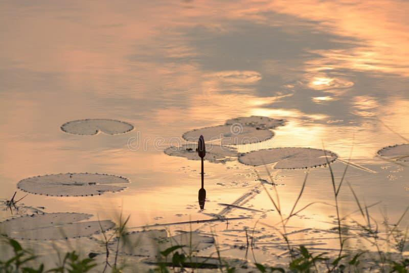 Κλείσιμο λουλουδιών Lotus στη λίμνη στοκ εικόνες με δικαίωμα ελεύθερης χρήσης