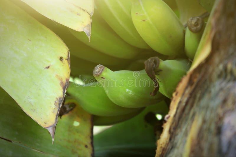 Κλείστε αυξημένος με τα πράσινα φρούτα μπανανών στο δέντρο μπανανών στην Ταϊλάνδη στοκ εικόνες