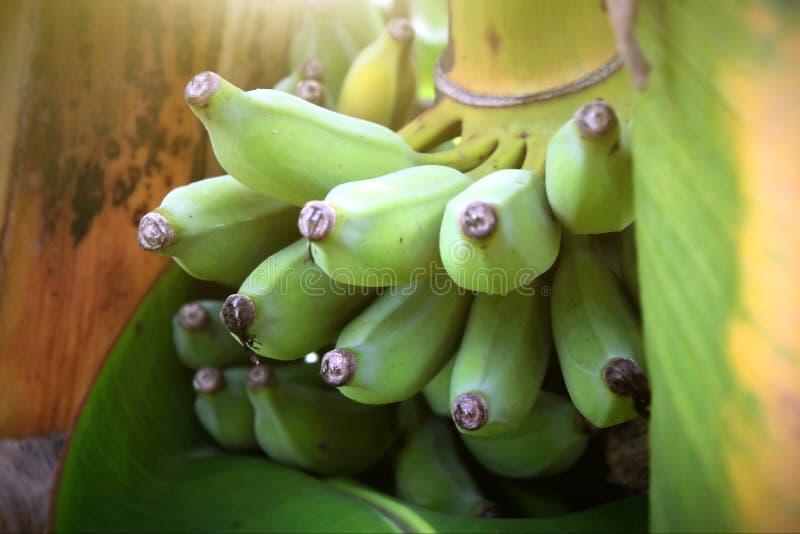 Κλείστε αυξημένος με τα πράσινα φρούτα μπανανών στο δέντρο μπανανών στην Ταϊλάνδη στοκ φωτογραφίες