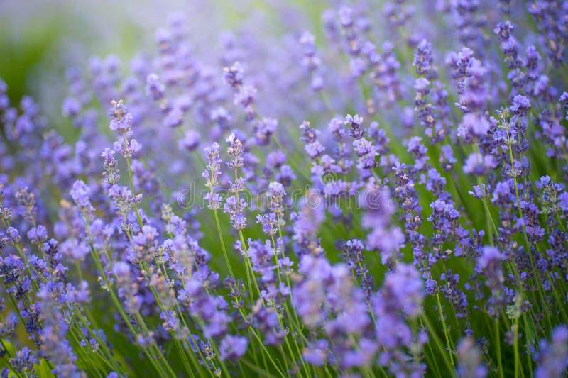 Κλείστε επάνω ανθίζοντας lavender σε έναν τομέα στοκ εικόνες με δικαίωμα ελεύθερης χρήσης