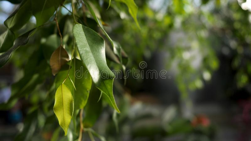 Κλείστε επάνω για τα πράσινα φύλλα στον κλάδο δέντρων σε μια ηλιόλουστη ημέρα, έννοια φύσης r Ευγενή μικρά πράσινα φύλλα του α στοκ φωτογραφία με δικαίωμα ελεύθερης χρήσης