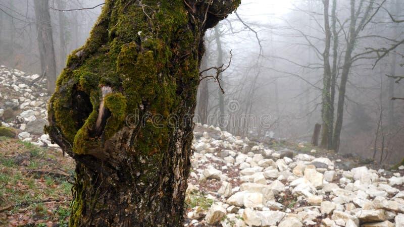Κλείστε επάνω για τον κορμό δέντρων που καλύπτεται με το πράσινο βρύο στο ομιχλώδες δασικό υπόβαθρο, έννοια μυστηρίου r o στοκ εικόνα με δικαίωμα ελεύθερης χρήσης