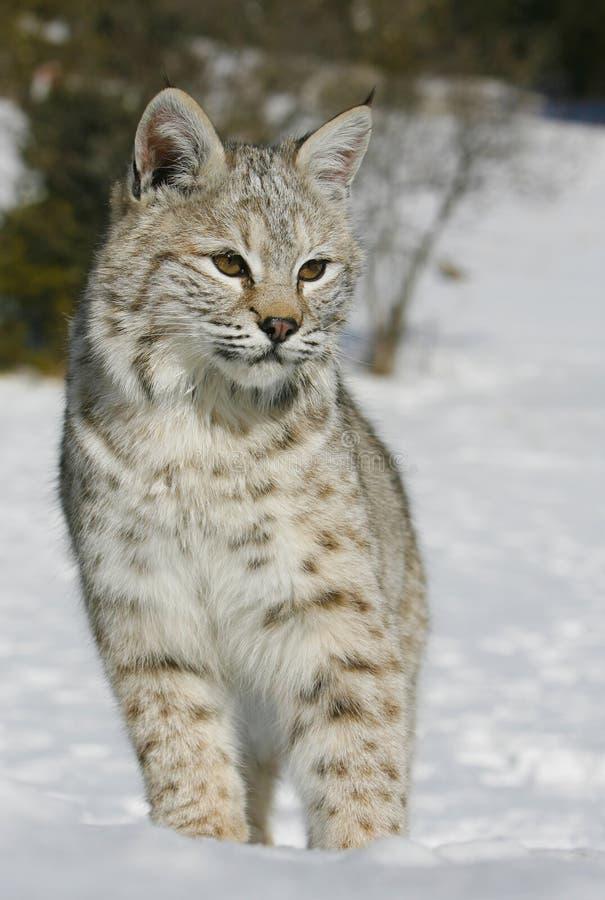 Κλείστε επάνω ενός άγριου bobcat